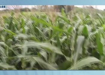 Sergipe deve colher cerca de 847 mil toneladas de milho