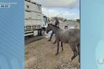 PRF apreende animais soltos nas rodovias estaduais